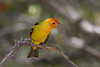 Western Tanager - Male - Ash Canyon B&B, Hereford, AZ, USA