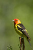 Western Tanager - Male - Yuba Pass, CA, USA