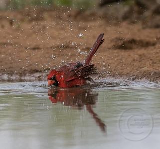 Cardinal Cavorting