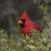 Classic Cardinal