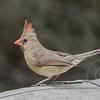Cardinal Cutie