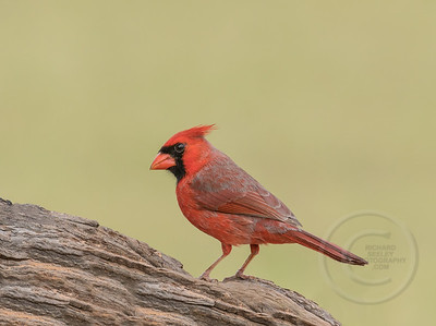 Contemplating Cardinal