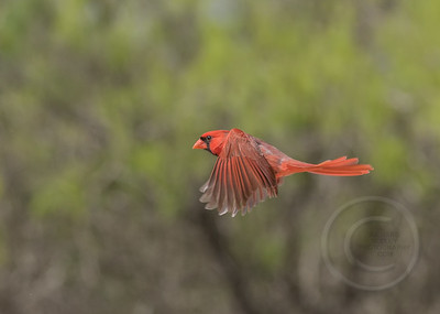 Red Bird Rising