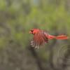 Red Bird Rising
