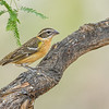 Black-headed Grosbeak, Ash Canyon Bed & Breakfast, Hereford, Arizona