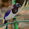 Black-chested Jay - Cartagena, Colombia
