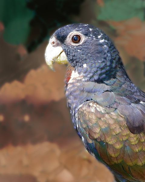 Bronze-winged Parrot - Cartagena, Colombia