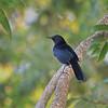 Black Catbird - Cozumel