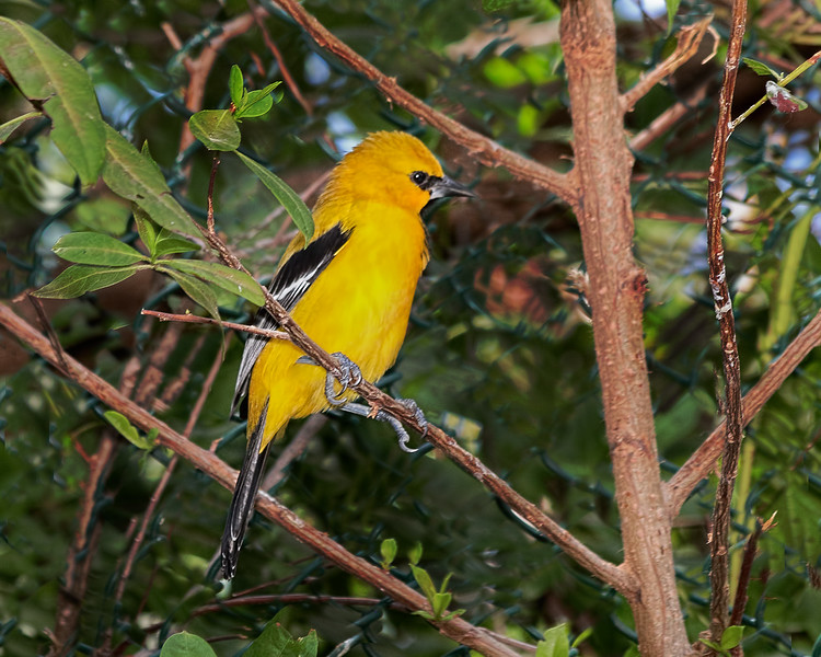Yellow Oriole - Cartagena, Colombia