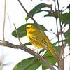 Golden Warbler - Cozumel