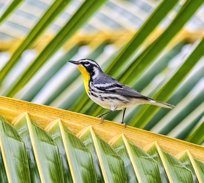 Yellow-throated Warbler - Costa Maya, Mexico