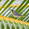 Yellow-throated Warbler - Costa Maya, Mexico
