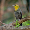 Yellow-headed Blackbird - Cartagena, Colombia