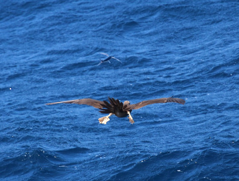 Brown Booby chasing a flying fish