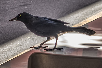 Great-tailed Grackle - San Juan