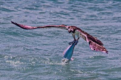 Osprey - Bonaire