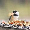Beep-Beep, our Carolina Chickadee, is perplexed about the size of the peanut!