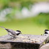Carolina Chickadees - Little Beep and Bailey