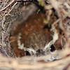 Carolina Wren Nesting