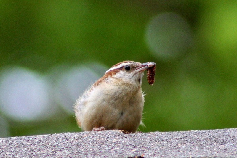 Mr Wren watching from the rooftop for a good time to bring in some lunch for his babies.
