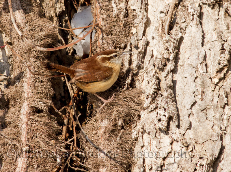Carolina Wren Marion County Missouri