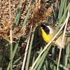 Common Yellowthroat - Carpinteria Salt Marsh