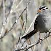 White-crowned Sparrow - Carpinteria Salt Marsh