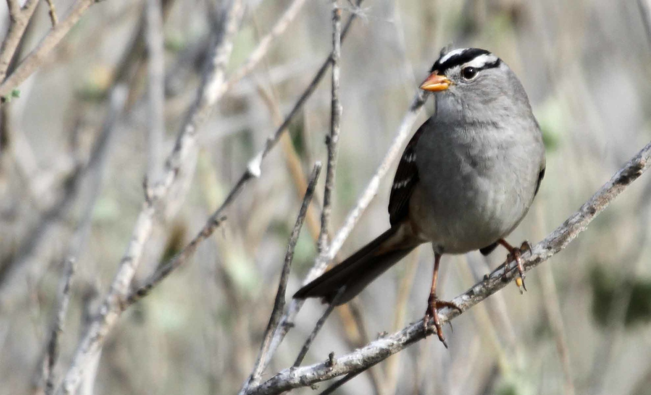 White-crowned Sparrow - Carpinteria Salt Marsh