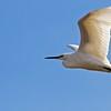 Snowy Egret - Carpinteria Salt Marsh