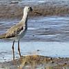 Greater Yellowlegs -Carpinteria Salt Marsh