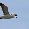 Western Gull - Carpinteria Salt Marsh