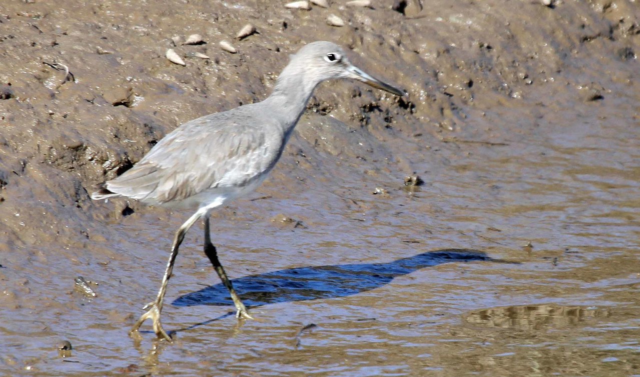 Willet - Carpinteria Salt Marsh
