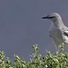 Northern Mockingbird - Carpinteria Salt Marsh