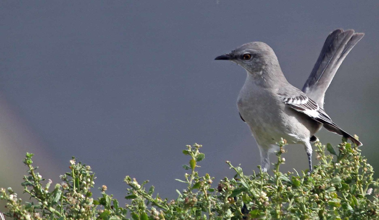 Northern Mockingbird - Carpinteria Salt Marsh