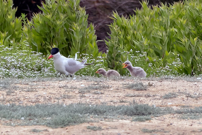 Caspian Tern Adult and Chicks