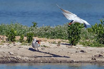 Caspian Tern bringing fish to Juvenile