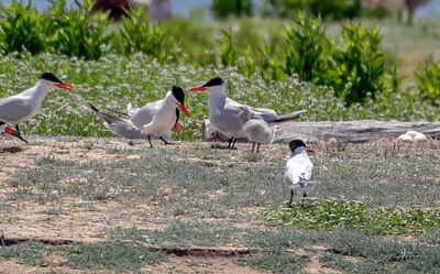 Caspian Terns and chicks