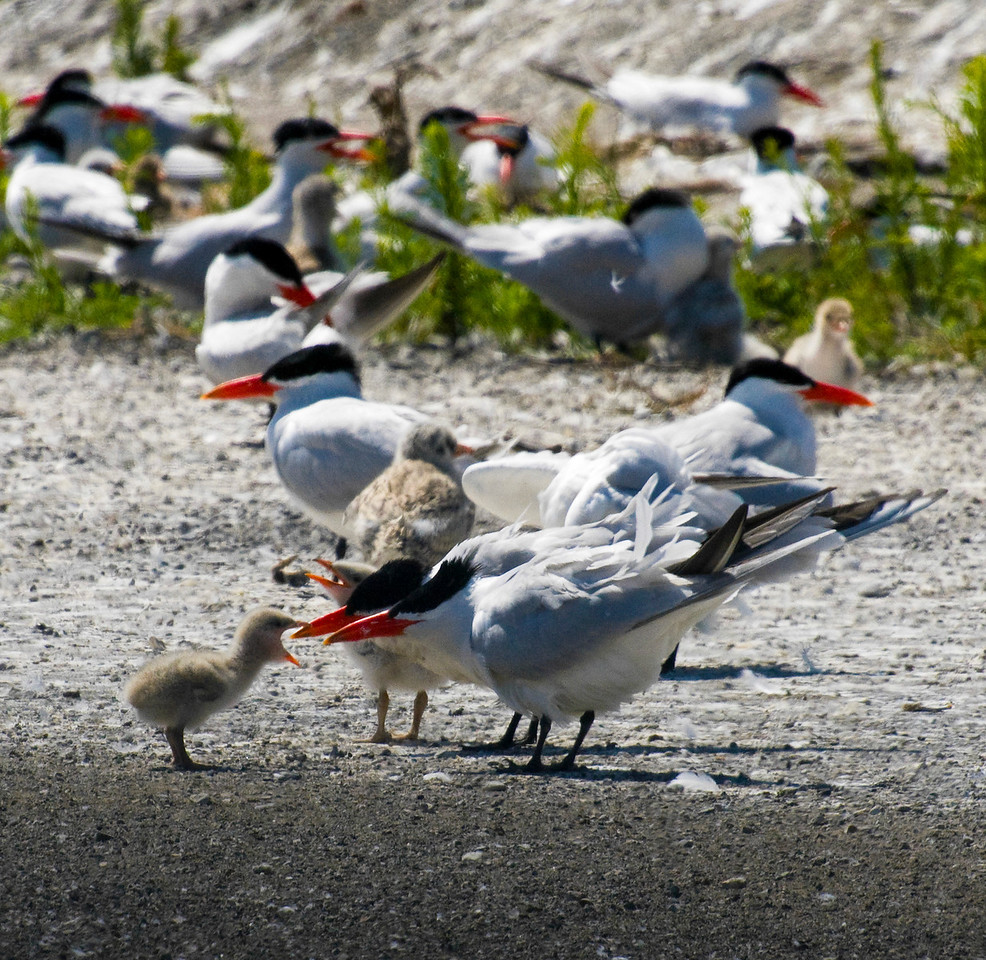 Caspian Terns