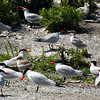 Caspian Terns : I recommend that you click on the slide show button at the top right side of this page to sit back and enjoy the fine art show. When the slide show begins, I suggest that you click on Hide Captions to view the images unencumbered by text. You can click on the 'Slow,' 'Medium,' or 'Fast' button for your speed preference.  At the conclusion of the slide show click on an image then click on 'show details' at the top of the page to open an option to comment on the image.  There are multiple pages to view so please click on the next page. Visit my Guestbook and leave your comments about my photography. All of the photos in this gallery are available for purchase.