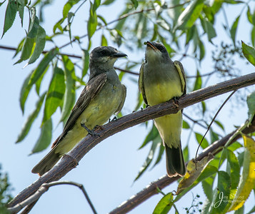 Cassins Kingbird