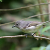 Cassin's Vireo<br /> 27 MAY 2010