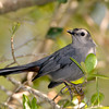 Gray Catbird perched