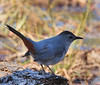 Gray Catbird (b0131)