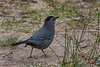 Gray Catbird (b0133