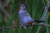 Gray Catbird (b0132)