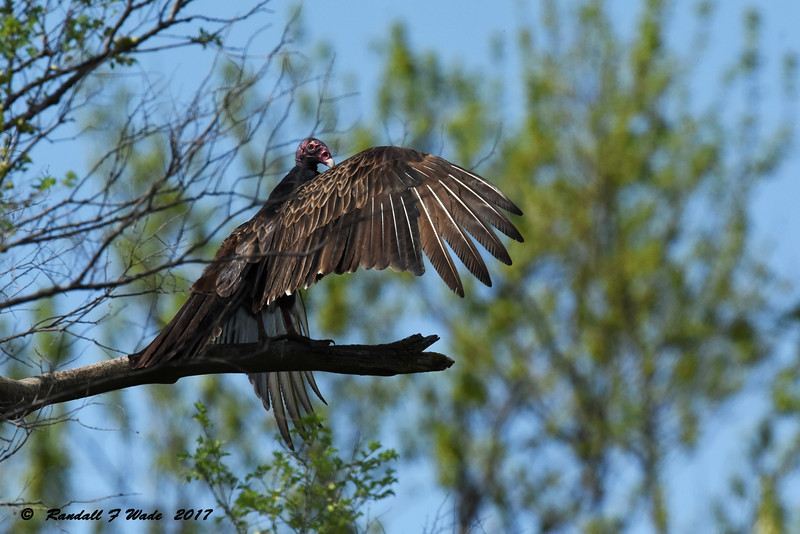 Sunning Turkey Vulture
