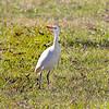 Cattle Egret (Non-Breeding)