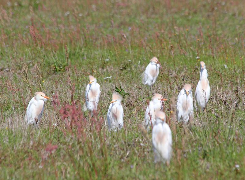 Cattle Egrets during Spring Migration