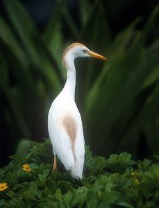 Cattle Egret - Anini Beach, Kauai, Hawaii