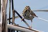 Savannah Sparrow?